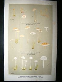 Cooke British Fungi 1880's Antique Mushroom Print. Agaricus Muscigenus 147