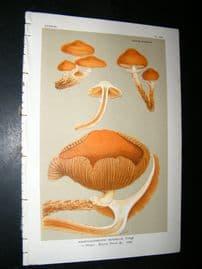 Cooke British Fungi 1880's Antique Mushroom Print. Agaricus Mutabilis 355