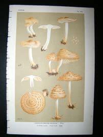 Cooke British Fungi 1880's Antique Mushroom Print. Agaricus Muticus 382