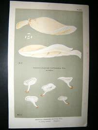 Cooke British Fungi 1880's Antique Mushroom Print. Agaricus Mutilus 275