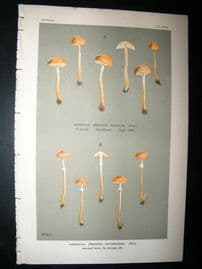 Cooke British Fungi 1880's Antique Mushroom Print. Agaricus Mycenoides 503