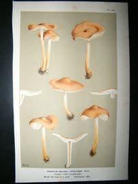 Cooke British Fungi 1880's Antique Mushroom Print. Agaricus Nitellinus 146