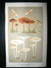 Cooke British Fungi 1880's Antique Mushroom Print. Agaricus Nummularius 151