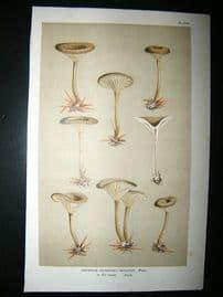 Cooke British Fungi 1880's Antique Mushroom Print. Agaricus Obbatus 230