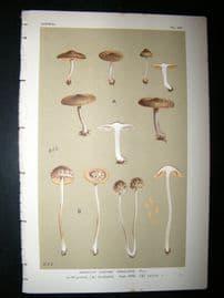 Cooke British Fungi 1880's Antique Mushroom Print. Agaricus Obscurus 427