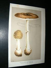 Cooke British Fungi 1880's Antique Mushroom Print. Agaricus  Panterinus 6