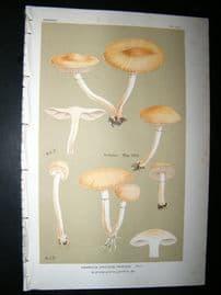 Cooke British Fungi 1880's Antique Mushroom Print. Agaricus Praecox 360