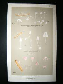 Cooke British Fungi 1880's Antique Mushroom Print. Agaricus Pterigenus 192