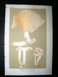 Cooke British Fungi 1880's Antique Mushroom Print. Agaricus Pudicus 362