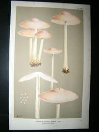 Cooke British Fungi 1880's Antique Mushroom Print. Agaricus Purus 157