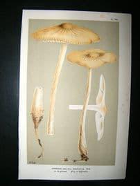 Cooke British Fungi 1880's Antique Mushroom Print. Agaricus Radicatus 140
