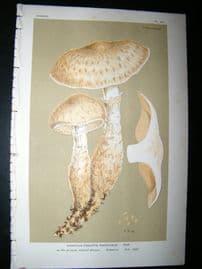 Cooke British Fungi 1880's Antique Mushroom Print. Agaricus Radicosus 361
