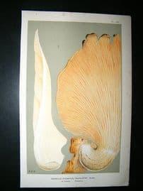 Cooke British Fungi 1880's Antique Mushroom Print. Agaricus Revolutus 180
