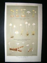 Cooke British Fungi 1880's Antique Mushroom Print. Agaricus Roridus 248