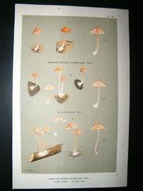 Cooke British Fungi 1880's Antique Mushroom Print. Agaricus Rosellus 131