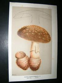 Cooke British Fungi 1880's Antique Mushroom Print. Agaricus Rubescens 9