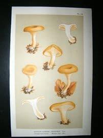 Cooke British Fungi 1880's Antique Mushroom Print. Agaricus splendens 109