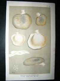 Cooke British Fungi 1880's Antique Mushroom Print. Agaricus Spongiosus 253