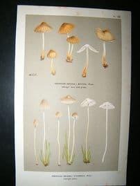 Cooke British Fungi 1880's Antique Mushroom Print. Agaricus Stanneus 188