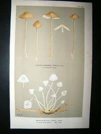 Cooke British Fungi 1880's Antique Mushroom Print. Agaricus Tenuis 160