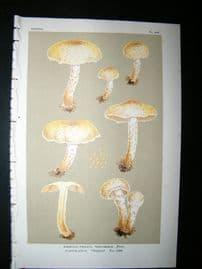 Cooke British Fungi 1880's Antique Mushroom Print. Agaricus Terrigenus 349