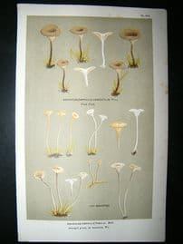Cooke British Fungi 1880's Antique Mushroom Print. Agaricus Umbratilis 274