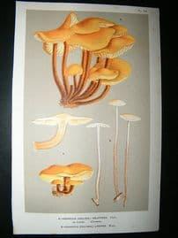 Cooke British Fungi 1880's Antique Mushroom Print. Agaricus Velutipes 184