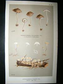 Cooke British Fungi 1880's Antique Mushroom Print. Agaricus Vulgaris 191