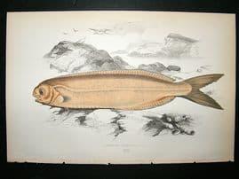 Couch: 1867 Antique Fish Print. Cornish Centrolophus