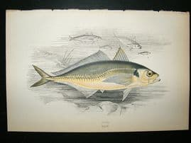 Couch: 1867 Antique Fish Print. Scad
