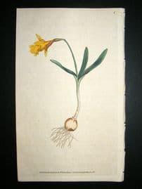Curtis 1786 Hand Col Botanical Print. Least Daffodil #6,
