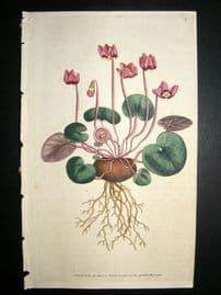 Curtis 1786 Hand Col Botanical Print. Round-Leav'd Cyclamen #4