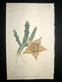 Curtis 1786 Hand Col Botanical Print. Variegated Stapelia #26,