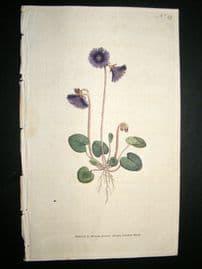 Curtis 1787 Hand Col Botanical Print. Alpine Soldanella #49,