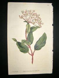 Curtis 1787 Hand Col Botanical Print. Common Laurustinus #38