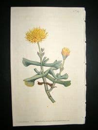 Curtis 1787 Hand Col Botanical Print. Hatchet-Leaved Fig Marigold #32,