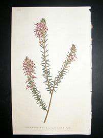 Curtis 1787 Hand Col Botanical Print. Herbaceous Heath #11,