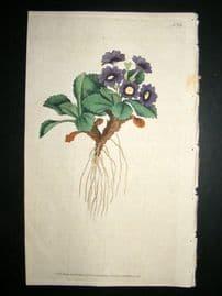 Curtis 1787 Hand Col Botanical Print. Mountain Primula #14,