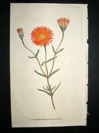 Curtis 1787 Hand Col Botanical Print. Two Coloured Fig-Marigold #59,