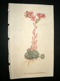 Curtis 1788 Hand Col Botanical Print. Cobweb Houseleek #68