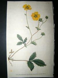 Curtis 1789 Hand Col Botanical Print. Large Flower'd Potentilla 75
