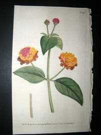 Curtis 1789 Hand Col Botanical Print. Prickly Lantana 96