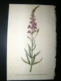 Curtis 1789 Hand Col Botanical Print. Purple Toad Flax 99