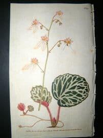 Curtis 1789 Hand Col Botanical Print. Strawberry Saxifrage 92
