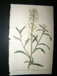 Curtis 1789 Hand Col Botanical Print. Sweet Alyssum 101