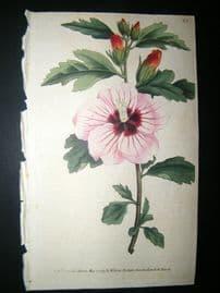 Curtis 1789 Hand Col Botanical Print. Syrian Hibiscus 83