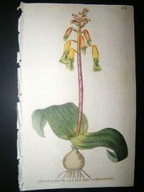 Curtis 1789 Hand Col Botanical Print. Three Coloured Lachenalia 82