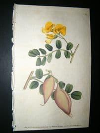 Curtis 1789 Hand Col Botanical Print. Tree Colutea or Bladder Senna 81