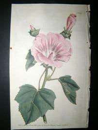 Curtis 1790 Hand Col Botanical Print. Annual Lavatera 109