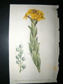 Curtis 1790 Hand Col Botanical Print. Bladder-Podded Alyssum 130